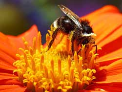Bee on an orange flower