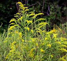 Causes of Air Pollution: Ragweed